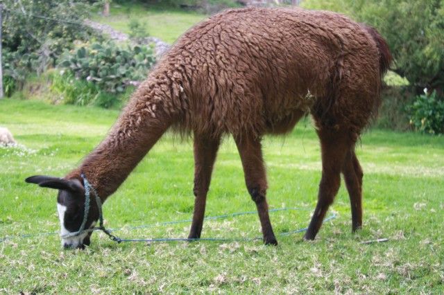 Sacred Valley alpaca